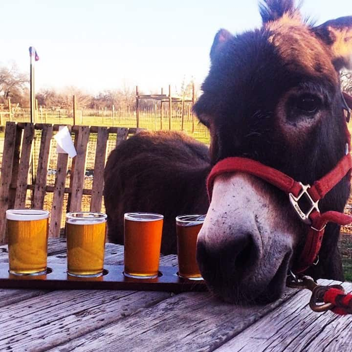 Rory the donkey next to a flight of beer samples at GoatHouse Brewing