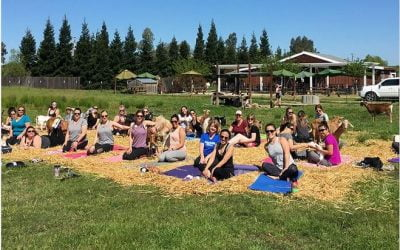 Goat Yoga Classes Offered At Local Brewery