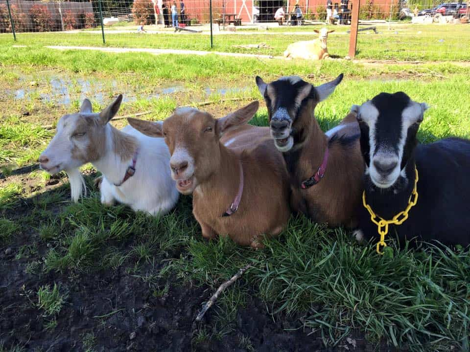 Goats lined up