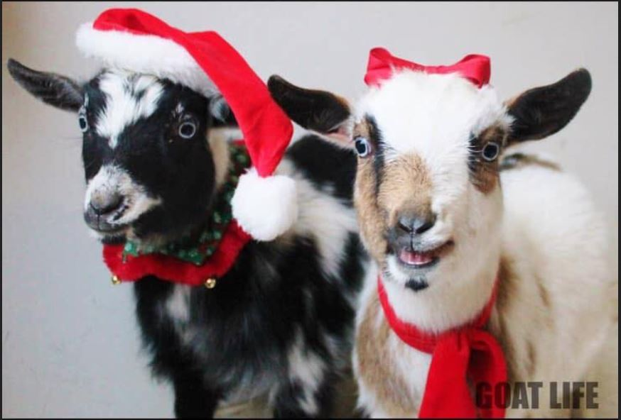 Goats with Santa hats on
